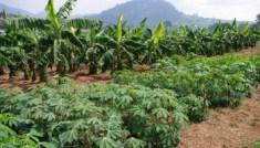 champs-de-manioc-et-bananiers-page-afrique-centrale